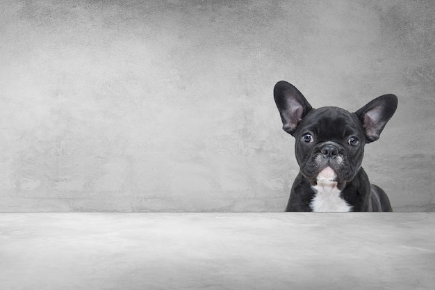 Adorable french bulldog,portrait of a puppy cute from behind cement background.