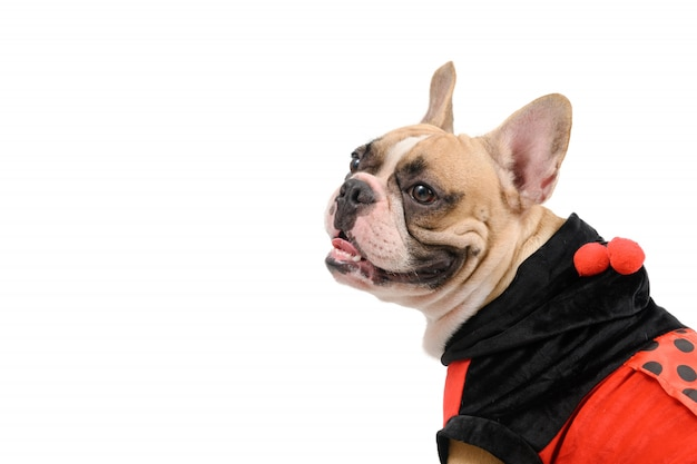 Adorable french bulldog wearing a cute and funny ladybug costume isolated