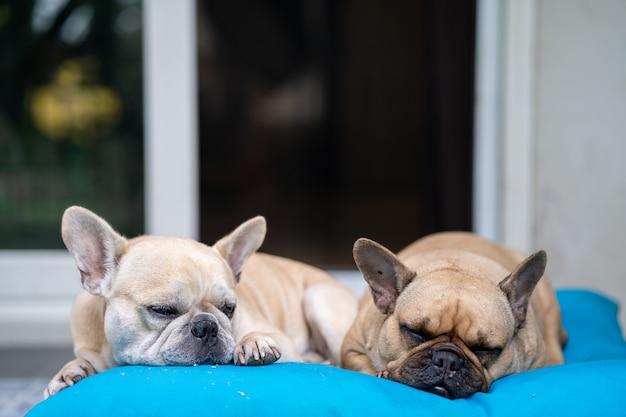 Очаровательные французские бульдоги лежат на синей подушке на открытом воздухе собаки расслабляются утром