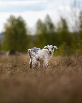 Adorabile capra sul campo nella zona rurale
