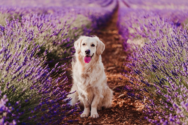 Adorable golden retriever dog in lavender field at sunset