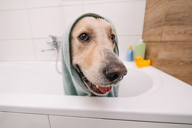 Adorable golden retriever dog sitting in the bath wearing towel and looking back funny doggy pet aft...