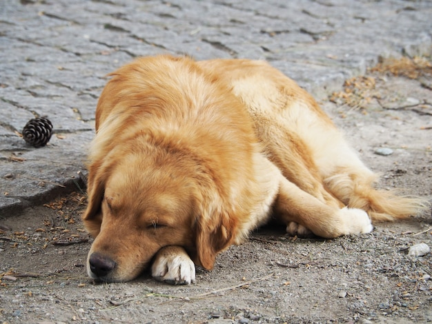Adorable golden retriever dog sleeping on the ground.