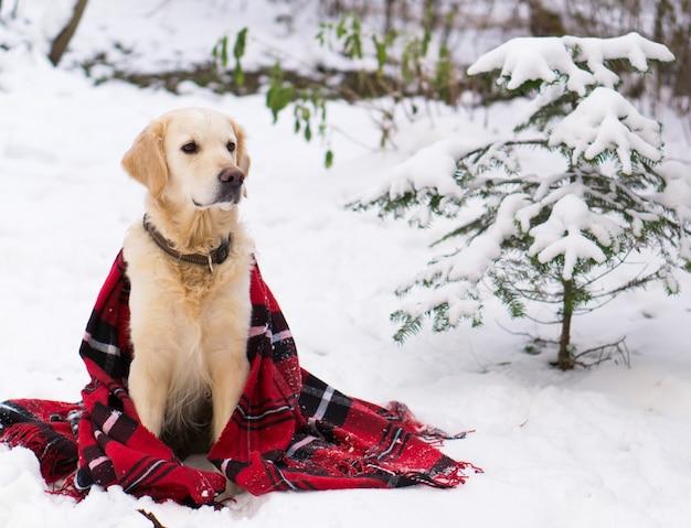 사랑스러운 골든 리트리버 강아지는 따뜻한 빨간색 크리스마스 타탄 체크 무늬 코트를 입고 야외 눈 위에 앉아 있습니다. 공원에서 겨울입니다. 수평 복사 공간을 닫습니다.