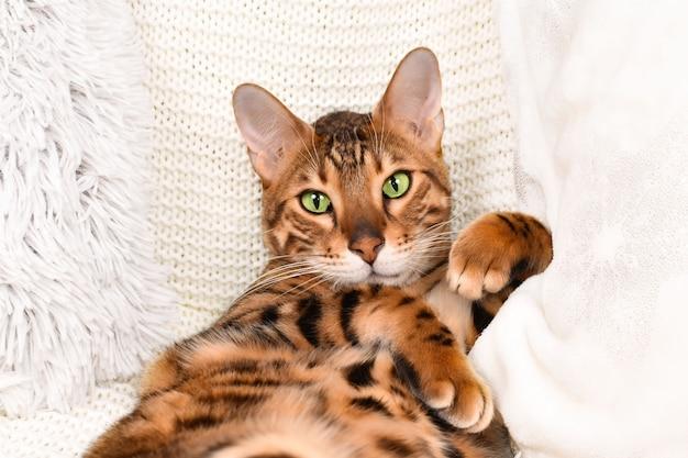 Очаровательная зеленоглазая пятнистая бенгальская кошка смотрит в камеру на белом пледе
