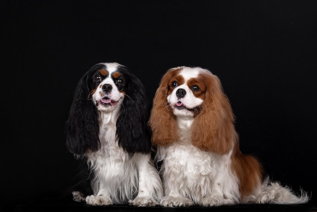 Adorable group of two cavalier king charles spaniels
