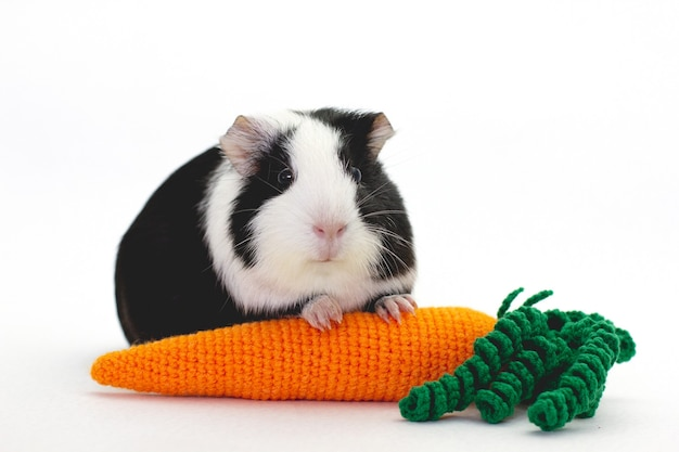 Adorable guinea pig with a knit carrot isolated on white