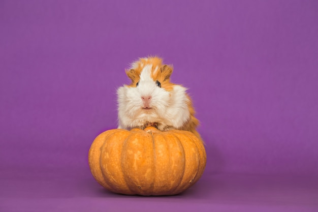 Adorable guinea pig with pumpkin on purple