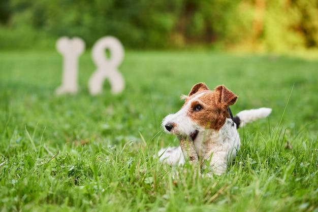 Очаровательная счастливая собака фокстерьера в парке приветствует новый год