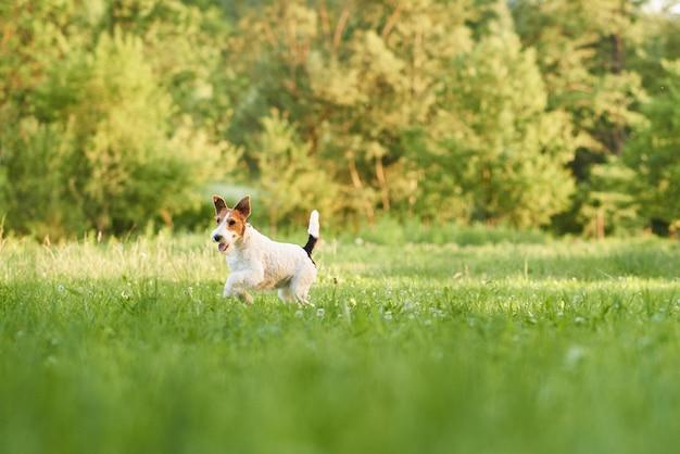 Очаровательная счастливая собака фокстерьера в парке