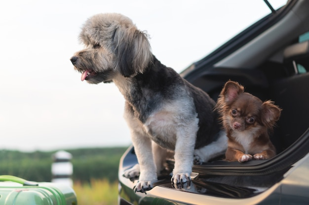Adorable and happy mixed breed and chihuahua dogs sitting in open trunk car.