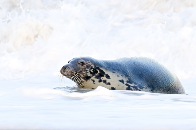 Adorable harbor seal swimming in the water