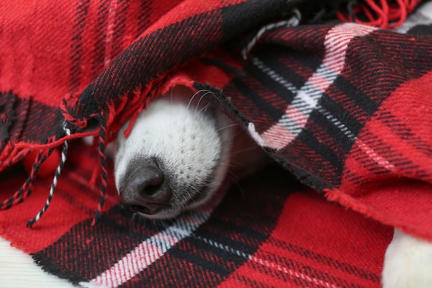 Adorable husky dog wrapped up in warm plaid lying on floor