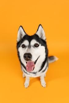 愛らしいハスキー犬