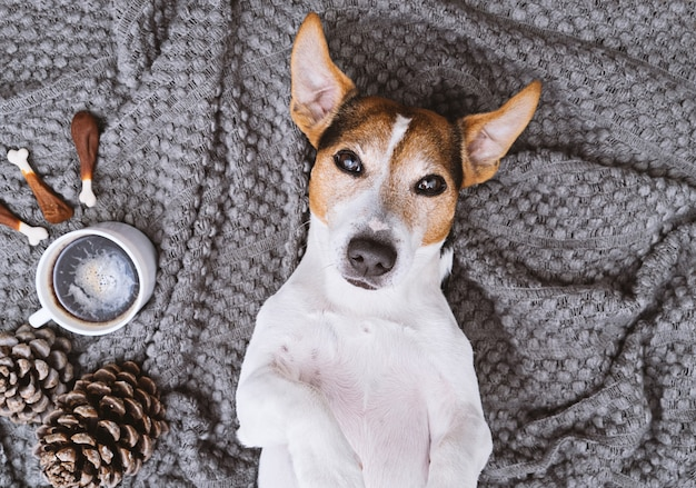 Adorable jack russell terrier lying on blanket with cup of coffee and treats