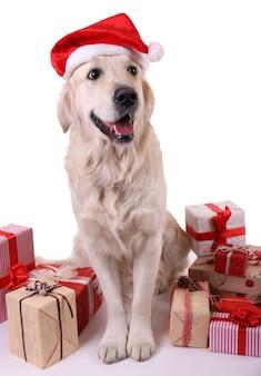 白で隔離のプレゼントボックスと座っているサンタ帽子の愛らしいラブラドール