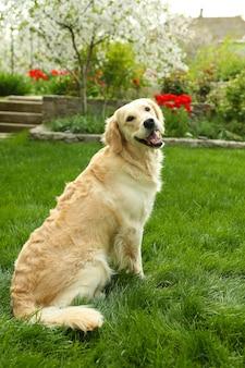 緑の芝生の上に座って、屋外で愛らしいラブラドール