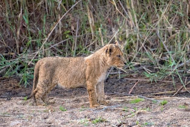 砂の中に立っているかわいいライオンの子