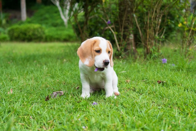 Adorable little beagle puppy dog purebred pet sitting, playing, and eating flower on grass yard lawn
