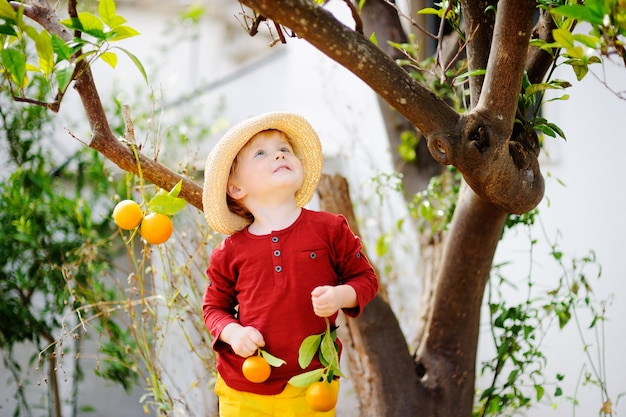 Adorable little boy in straw hat picking fresh ripe tangerine in sunny tangerine tree garden in italy.