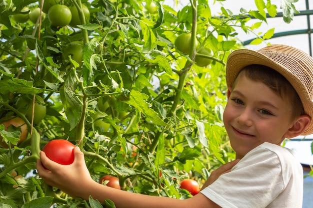 밀짚 모자를 쓴 사랑스러운 어린 소년이 온실에 토마토를 들고 있습니다. 아이 원예 및 수확. 아이들을 위한 건강한 유기농 야채의 개념. 어린이 채식주의