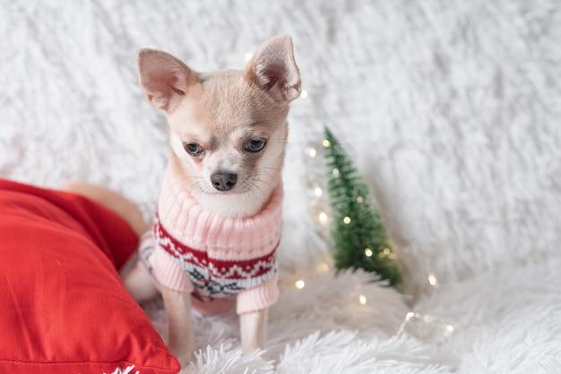 Очаровательная маленькая рождественская собака чихуахуа в свитере