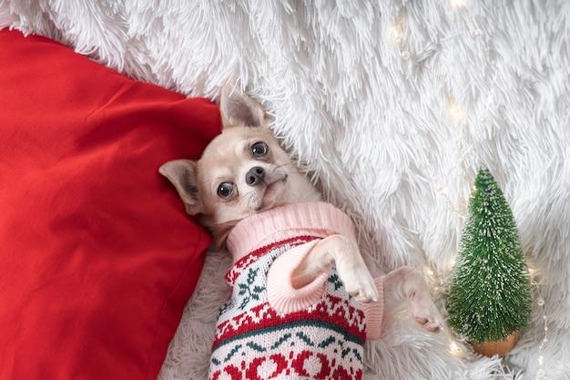 セーターを着た愛らしい小さなクリスマス犬が毛布の上に横たわっています。