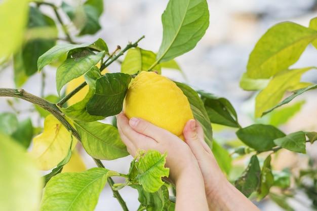 사랑스러운 작은 소녀는 나무에서 레몬 따기. 여름철 나무