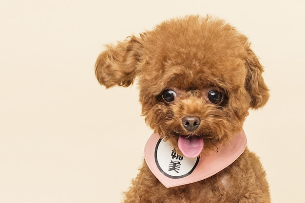 Adorable little poodle on a beige wall