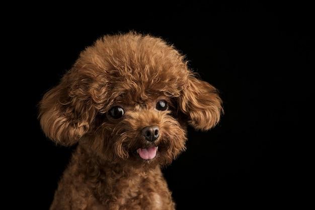 Adorable little poodle on a black background