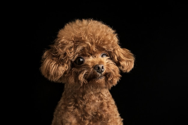 Adorable little poodle on a black wall