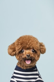 Adorable little poodle on a blue wall