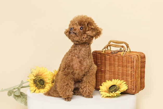 Adorable little poodle with beautiful sunflowers and a woven suitcase