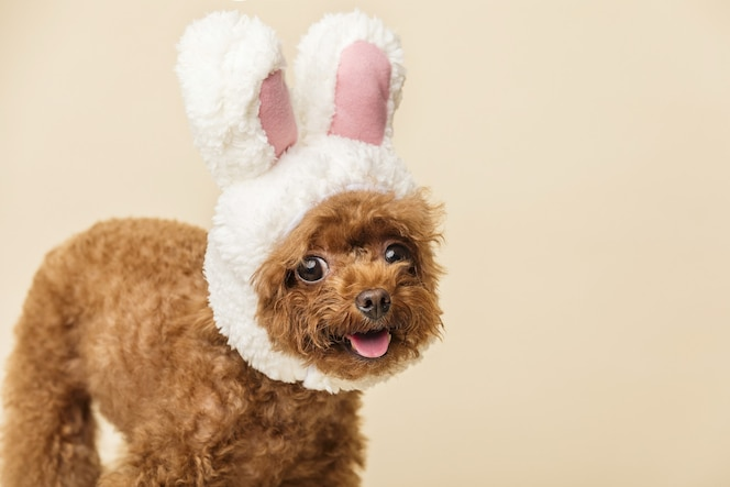 Adorable little poodle with cute bunny ears on a beige surface