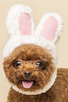 Adorable little poodle with cute bunny ears on a beige