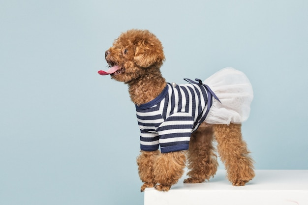 Adorable little poodle with a cute striped shirt and a white skirt on blue