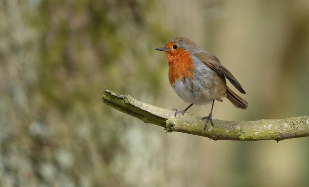 Adorable little robin bird standing at the end of a branch in a forest