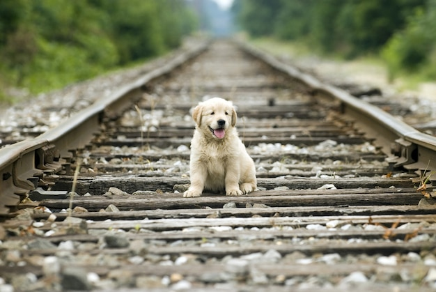 ぼやけた背景の線路に座っている愛らしい孤独なゴールデンレトリバーの子犬
