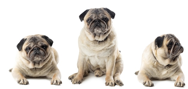 Adorable mature pug dogs sitting isolated
