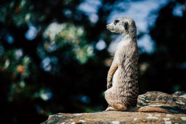 岩の上に座っている愛らしいミーアキャット