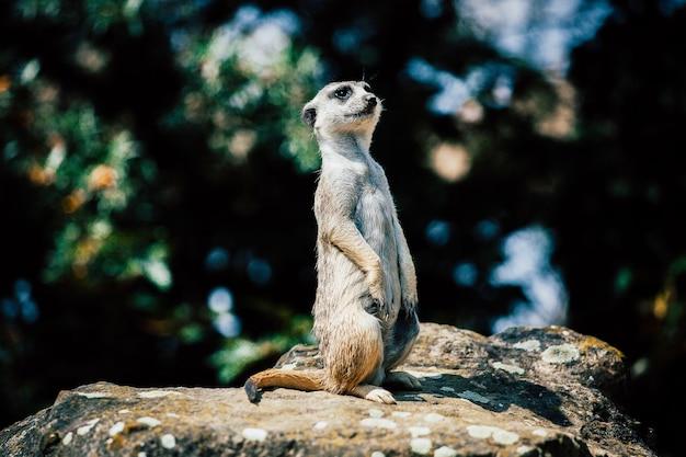 Adorabile meerkat seduto su una roccia