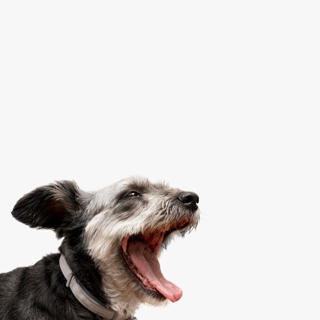 Adorabile cucciolo di razza mista che sbadiglia con lo spazio della copia
