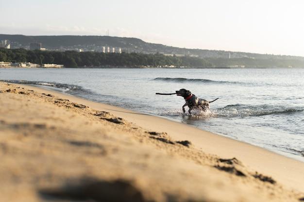 Adorable pitbull dog at the beach