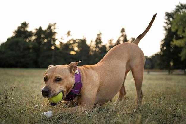 Очаровательная собака питбуль играет в траве