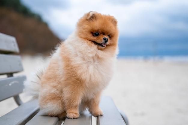 Очаровательная собака померанский шпиц сидит на деревянной скамейке на пляже