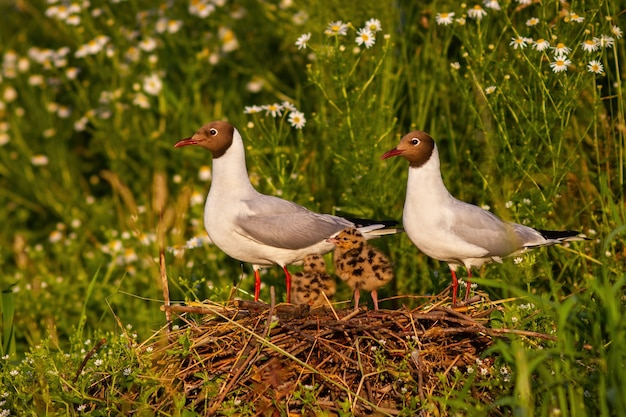Adorable portrait of blackheaded gull family nesting by the wild chamomile