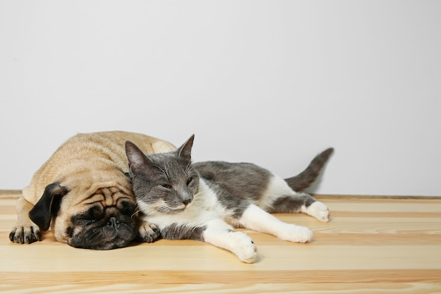 愛らしいパグとかわいい猫が一緒に床に横たわっている