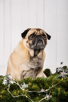 Adorable pug near pine branches decoration