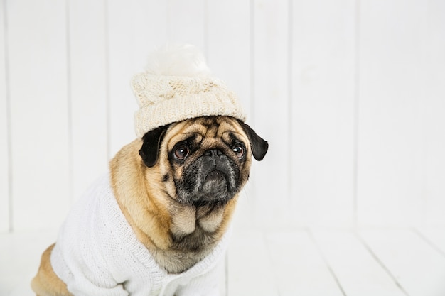 Adorable pug wearing white sweater  and hat