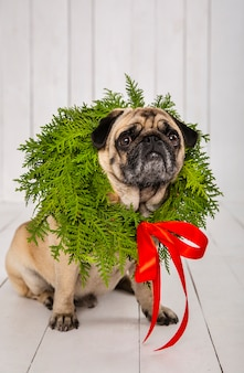 Adorable pug wearing wreath decoration around the neck